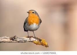 Robin, garden visitor